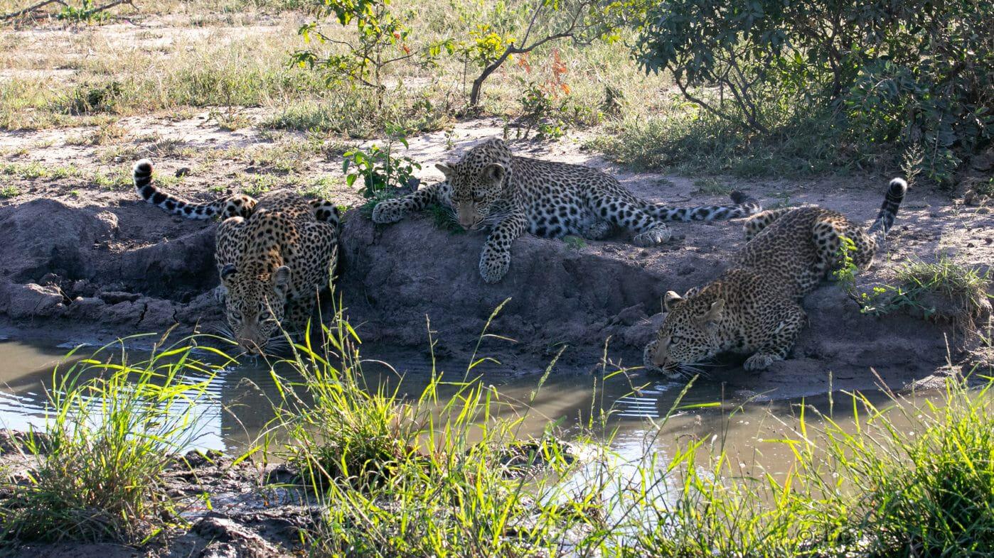 Nhlanguleni Cubs Leopard Gb 2
