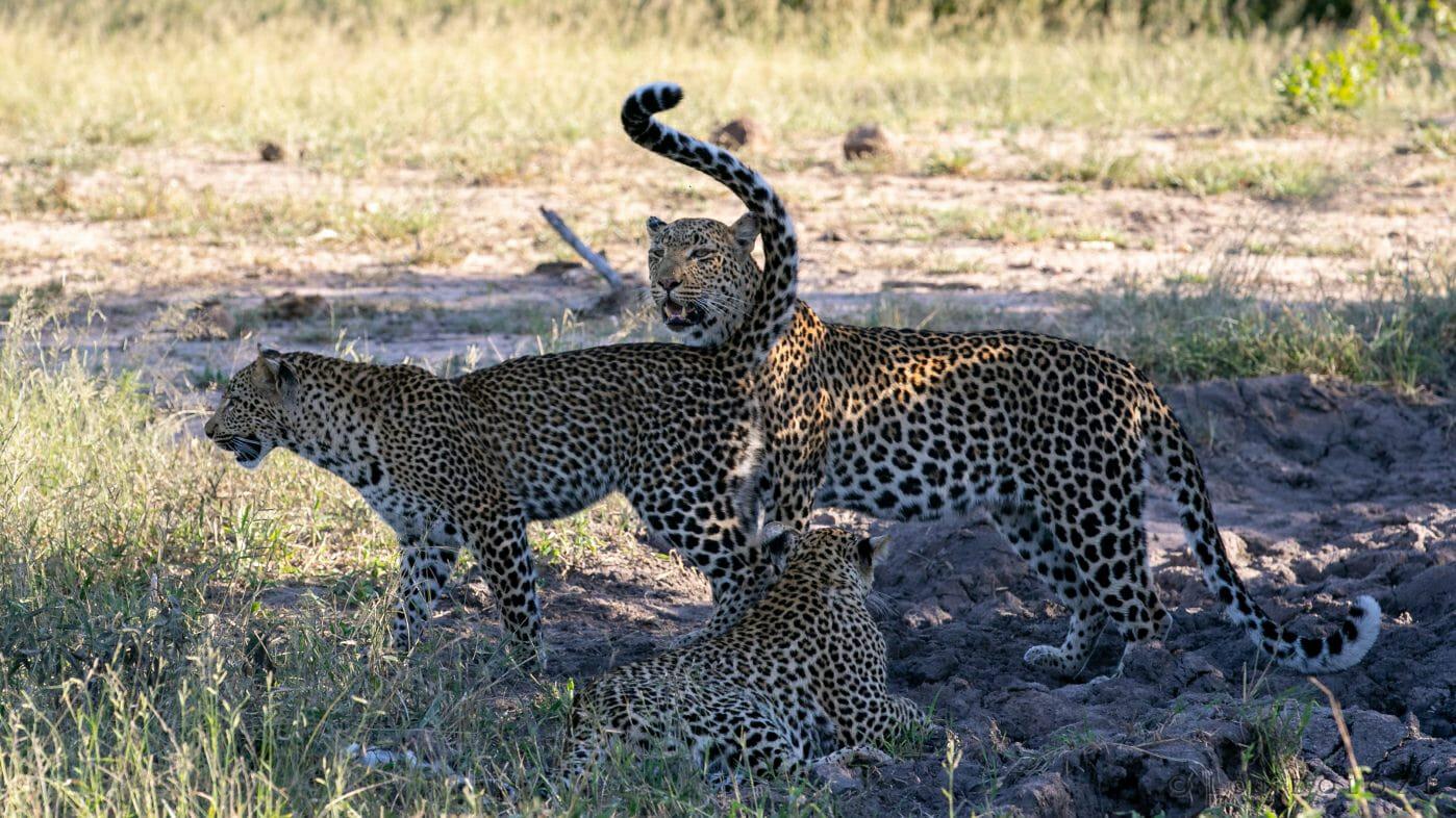 Nhlanguleni Cubs Leopard Gb