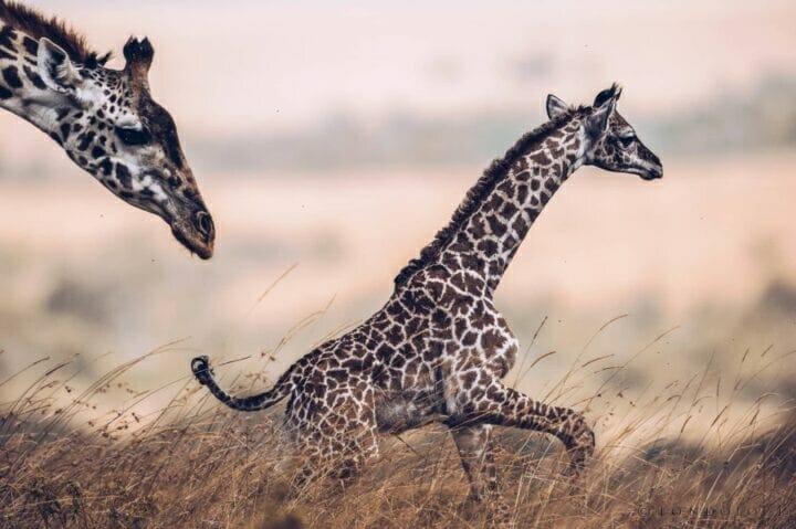 Image courtesy giraffe