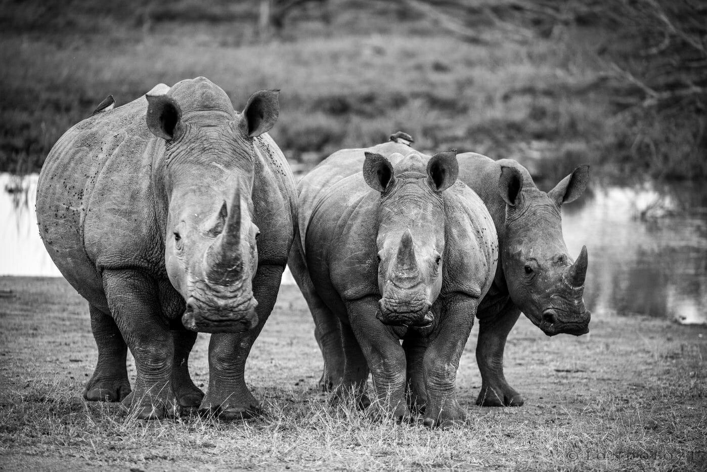 Rhinos Bw A Ritchie 1