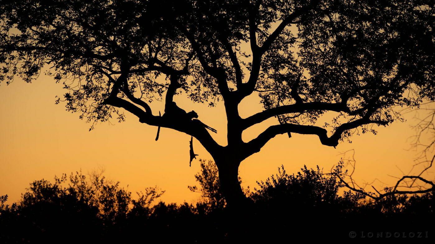 Makomsava Leopard Impala Marula Silhouette