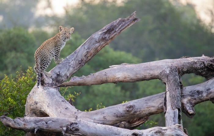 Ndzanzeni Leopard Cub Dead Tree