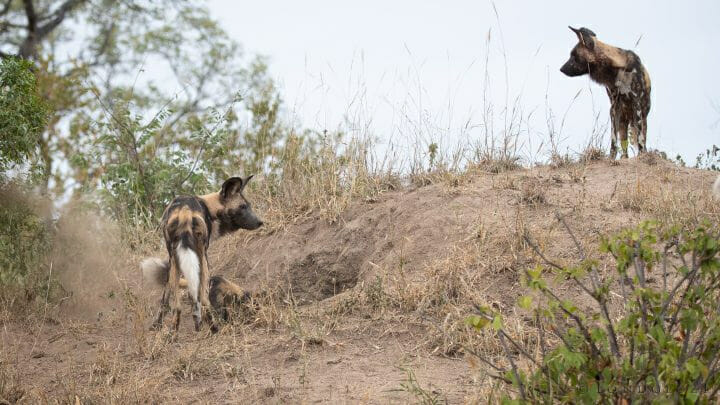 Wild Dogs Dig