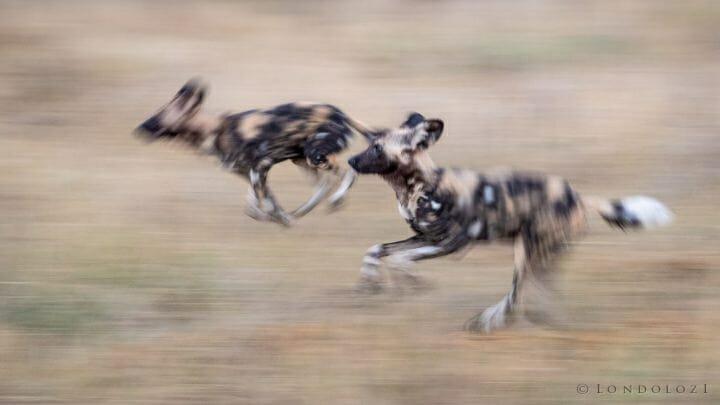 Wild Dogs Run