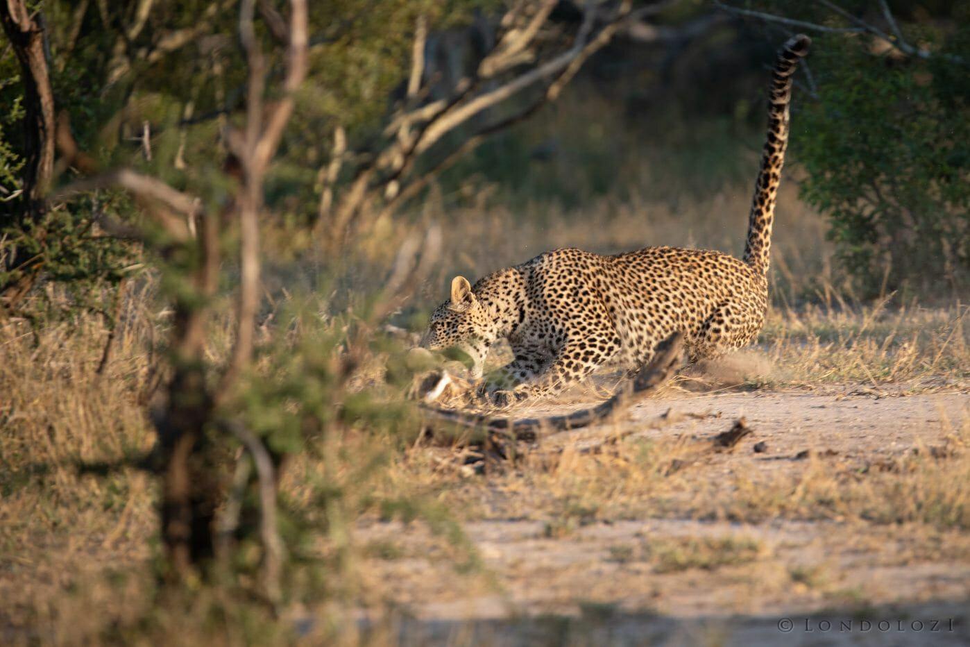 Nhlanguleni Leopard Cub Kill Scrub Hare 4