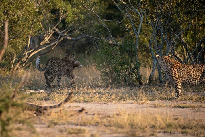 Nhlanguleni Leopard Cub Kill Scrub Hare 5