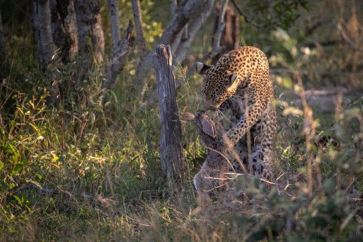 Nhlanguleni Leopard Cub Kill Scrub Hare 6