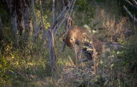 Nhlanguleni Leopard Cub Kill Scrub Hare 7