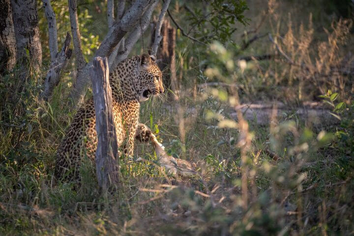 Nhlanguleni Leopard Cub Kill Scrub Hare 8