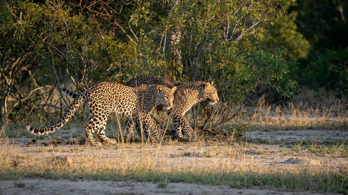 Nhlanguleni Leopard Cubs