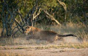 Nhlanguleni Leopard Cub Chase