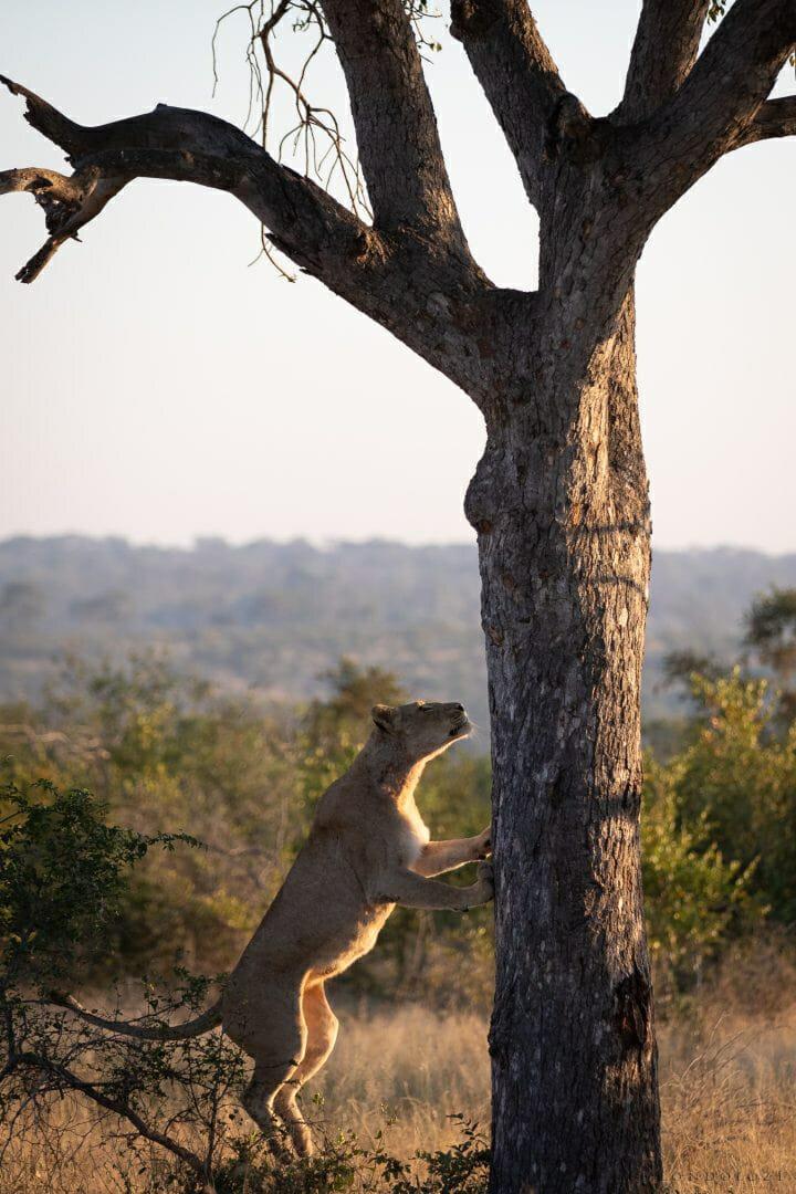 Tsalala Lioness Climb 2
