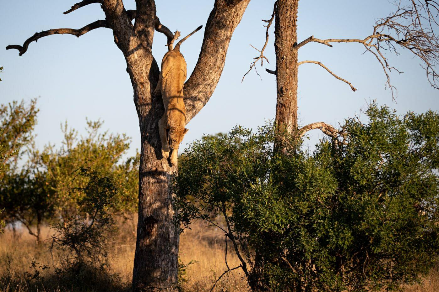 Tsalala Lioness Climb 5