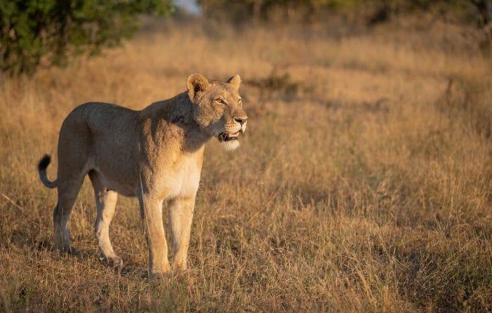 Tsalala Lioness Climb 6