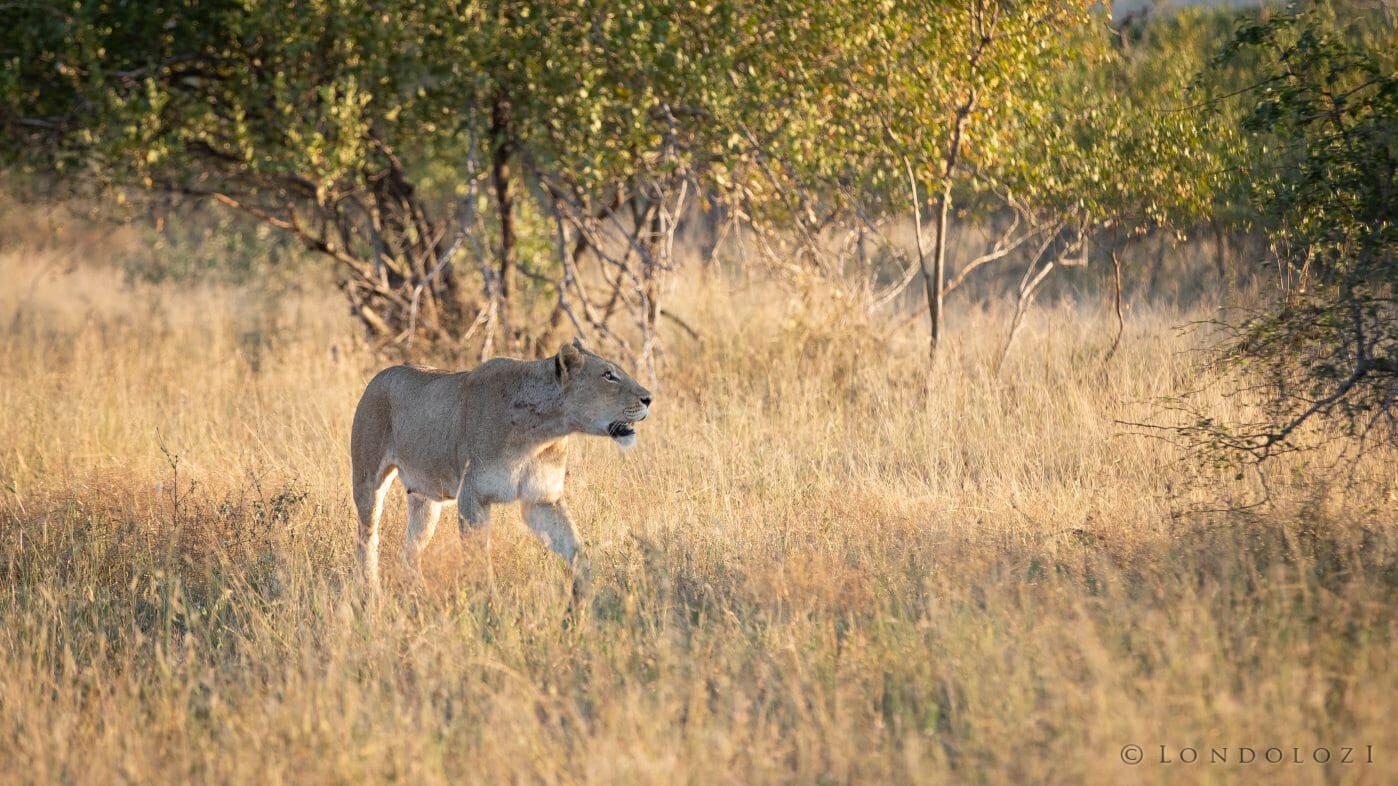 Tsalala Lioness Climb