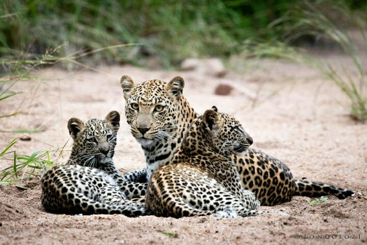 Ximungwe Leopard Cubs