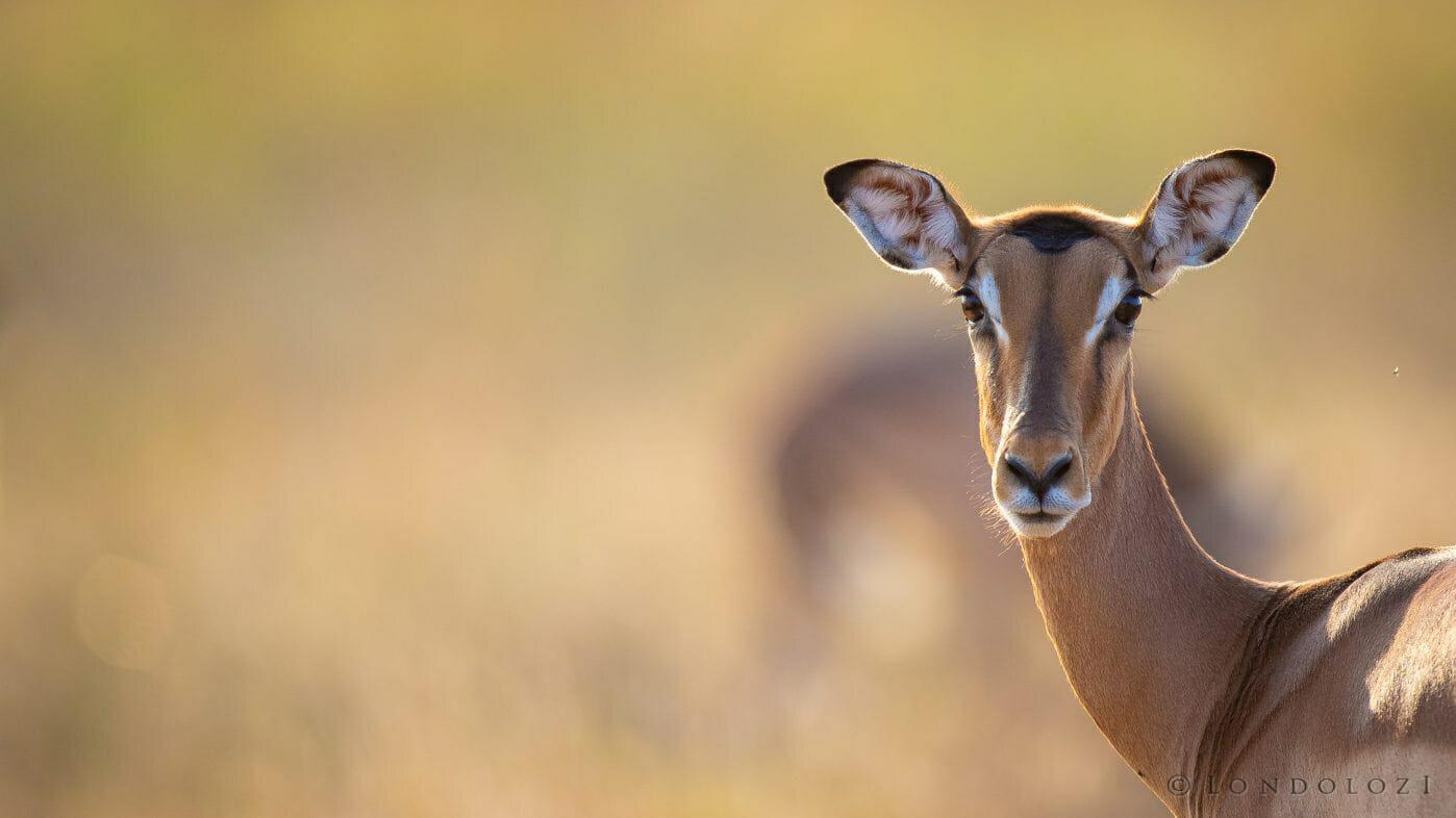 Impala Face
