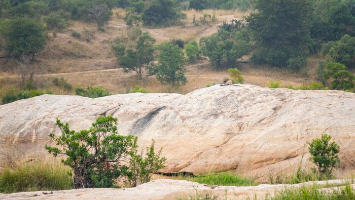 Rock Senegal Bush Leopard