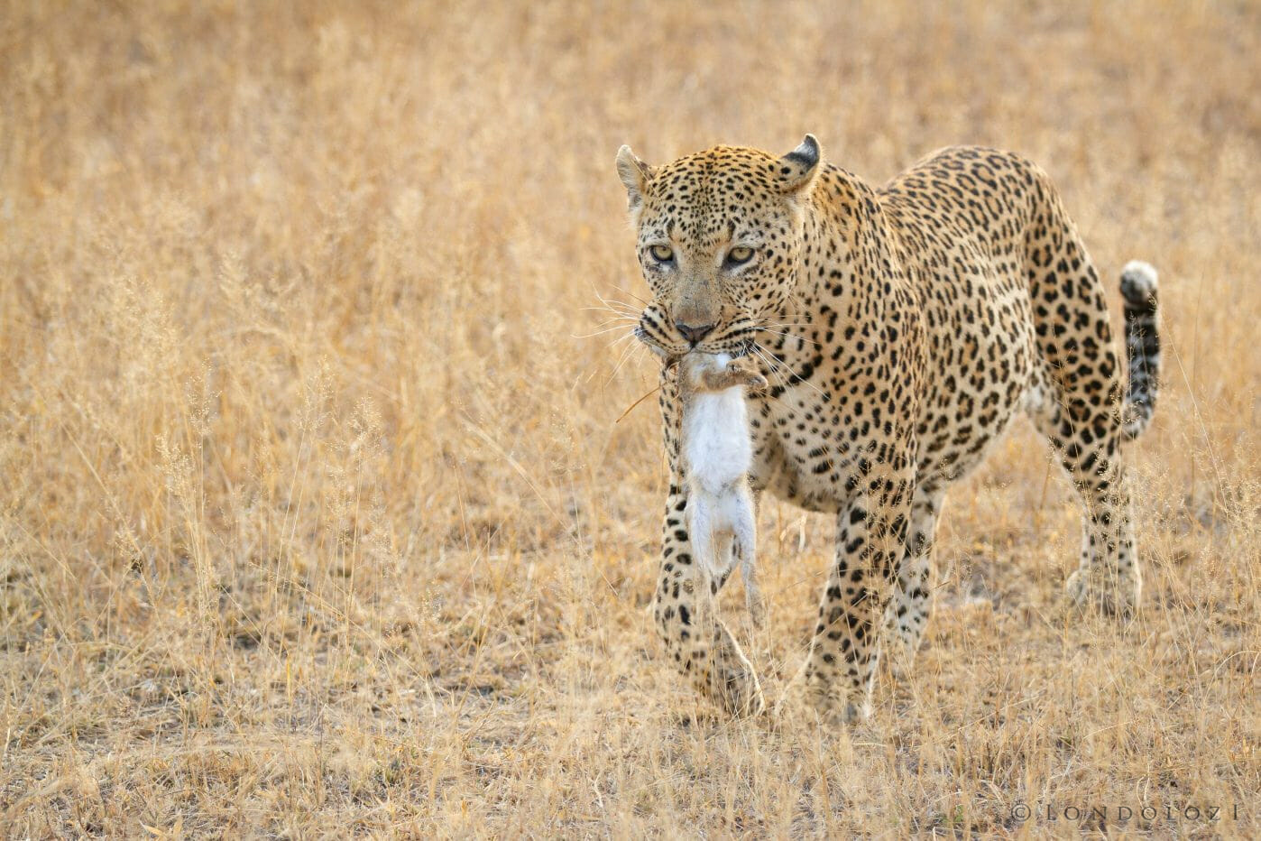 Camp Pan Leopard Scrub Hare