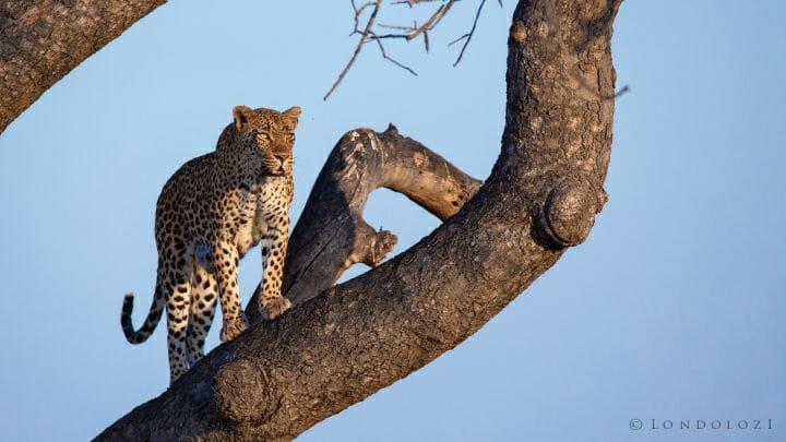Tamboti Leopard Gold