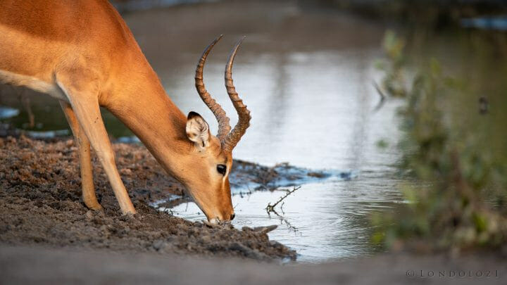 Impala Ram Drink
