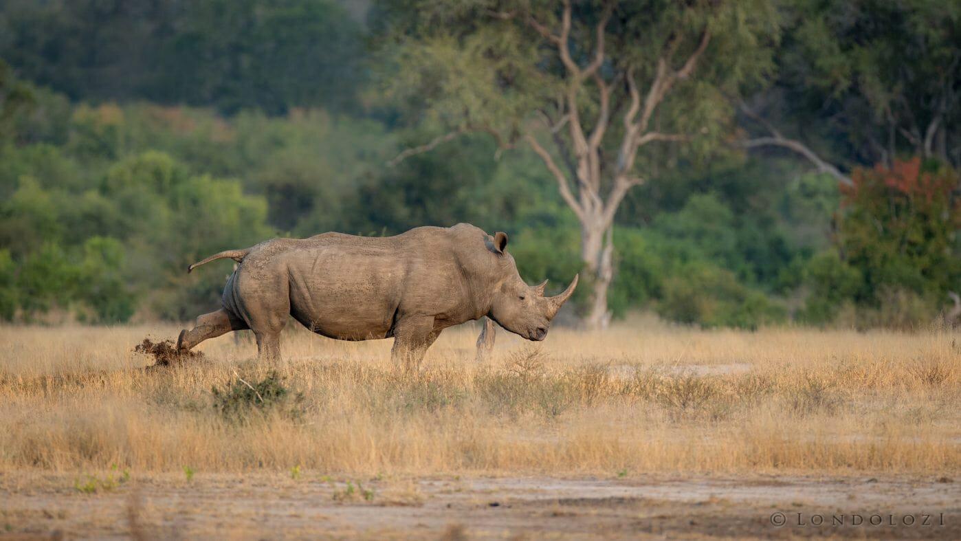Rhino Scent Mark Midden