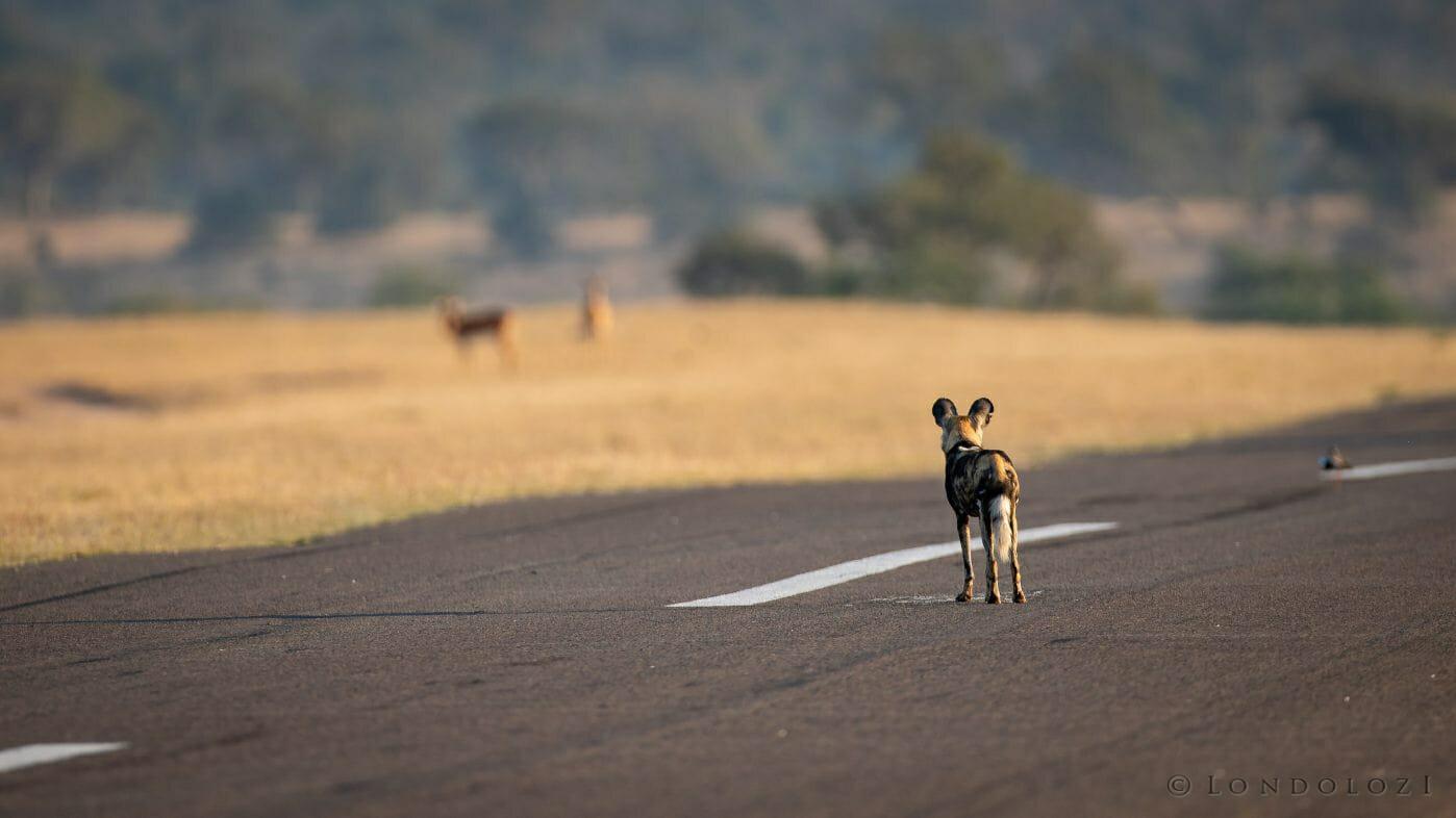 Wild Dog Impala