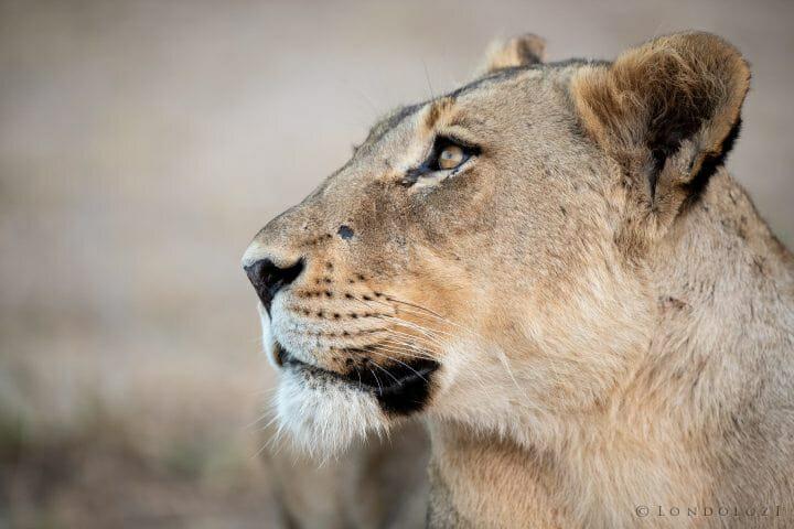 Ntsevu Lioness