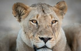 Ntsevu Lioness1