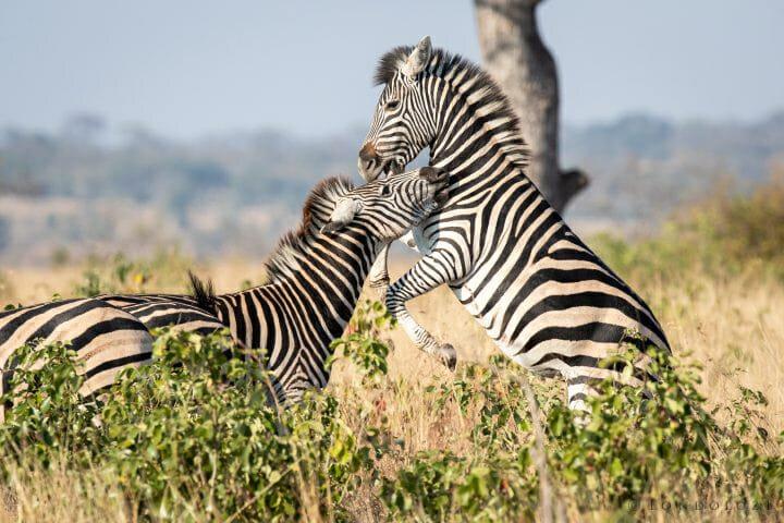 Zebra 4