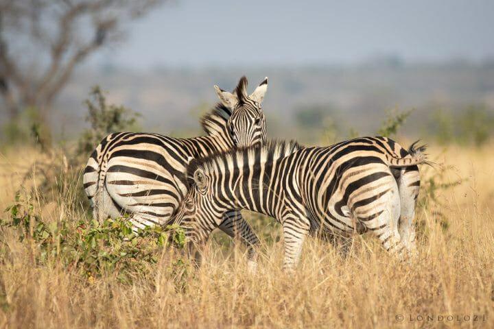 Zebra 9