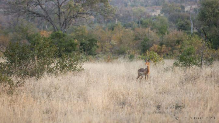 Impala Ram Look