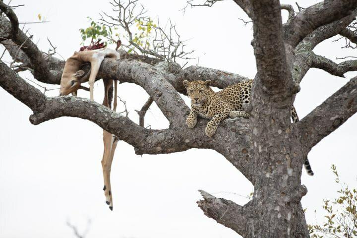 Mashaba Leopard Kill Impala 2
