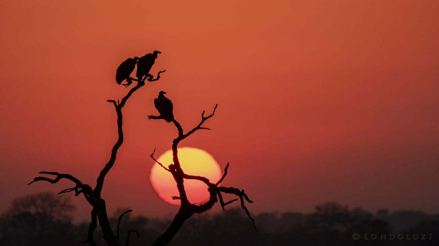 Vulture Silhouette Sunset