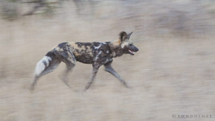 Wild Dog Panning