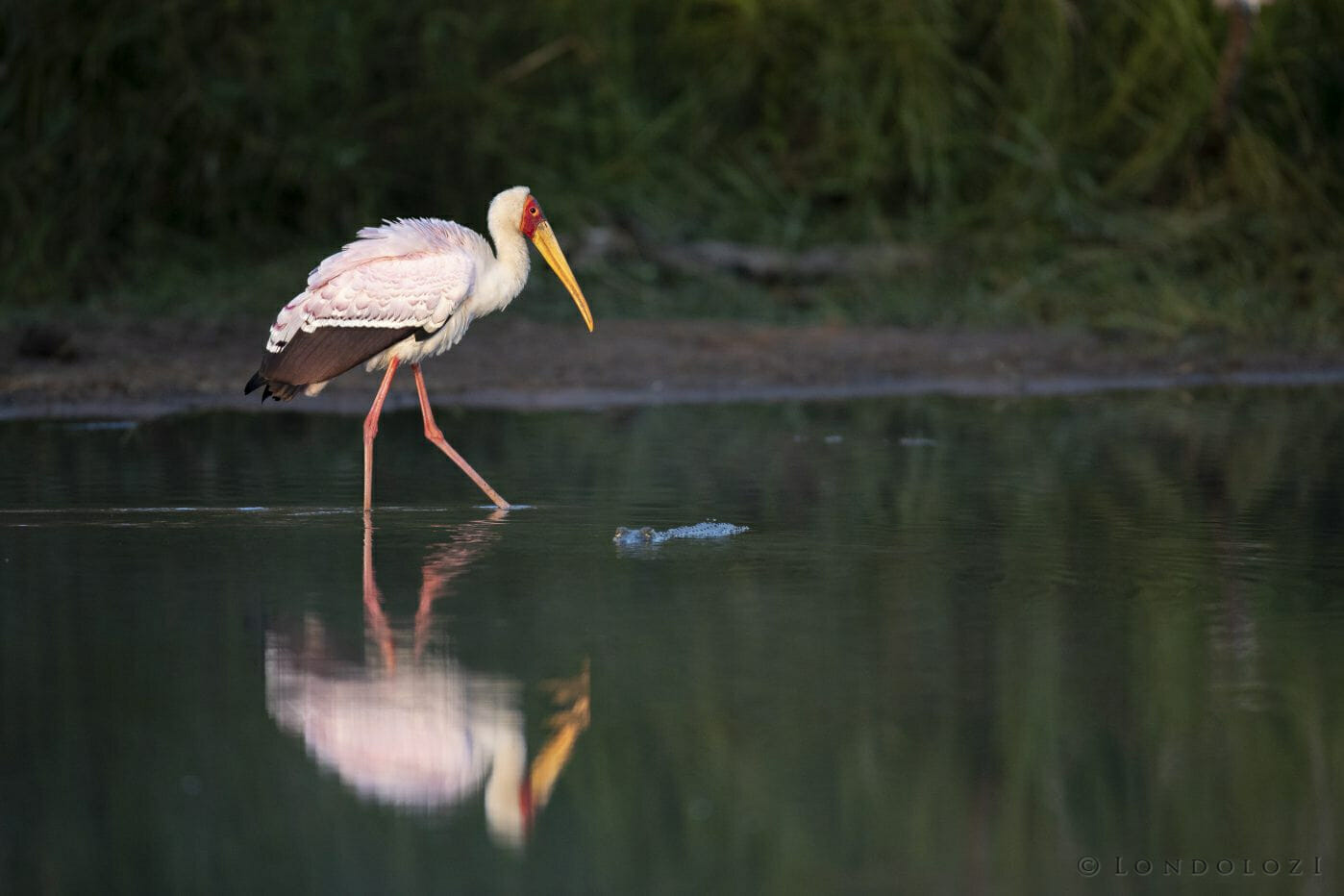 Yellow Billed Stork Reflection 2