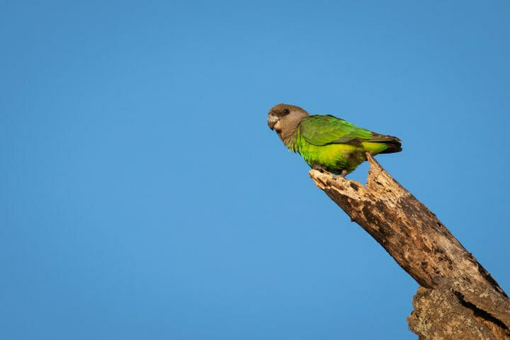 Brownheaded Parrot