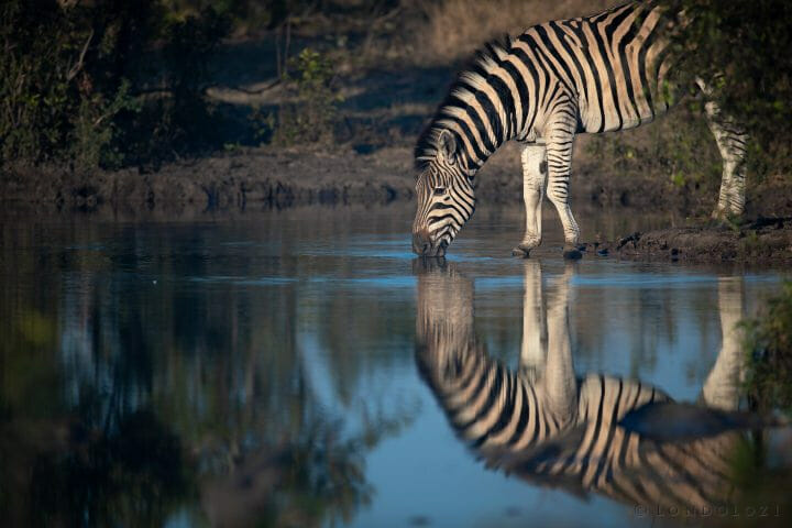 Zebra Reflection1