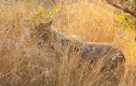 Tugwaan Male Leopard Warthog