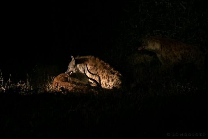 Hyena Impala Spotlight 2