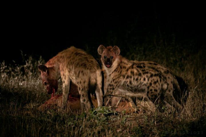 Hyena Impala Spotlight 4