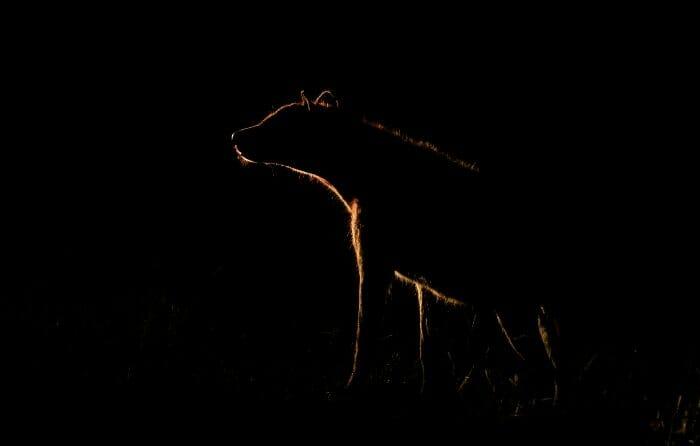Hyena Impala Spotlight 6