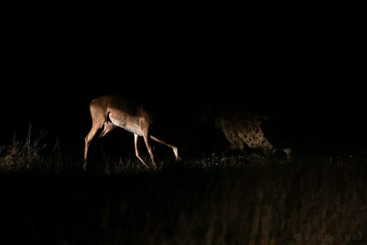 Hyena Impala Spotlight