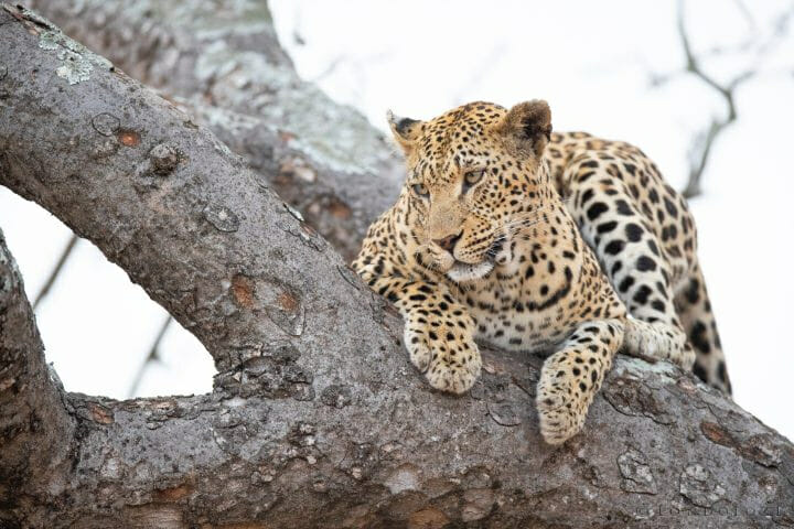 Mashaba Female Leopard
