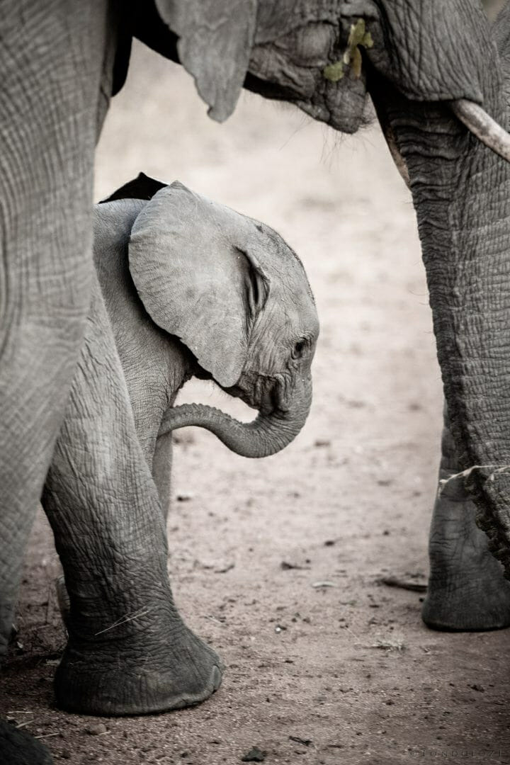 Elephant Calf1