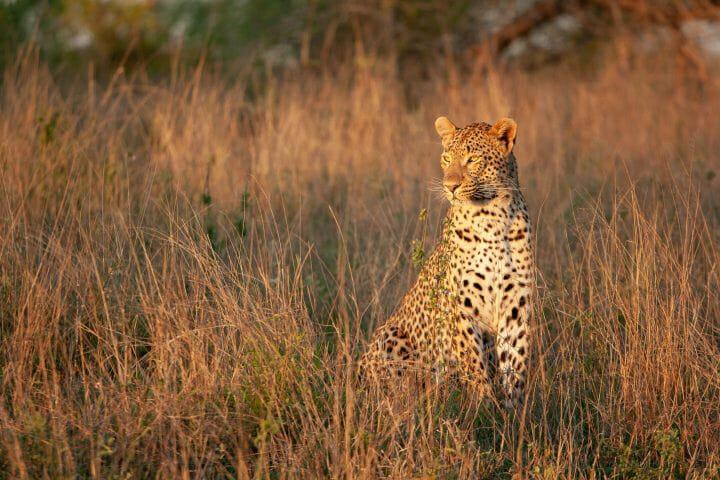 Tutlwa Leopard