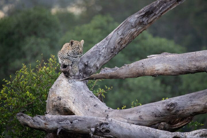 Ndzanzeni Leopard Cub
