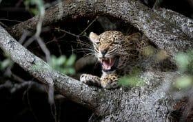 Ndzanzeni Leopard