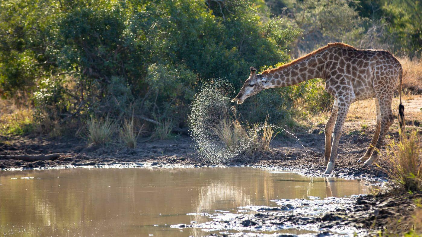 Giraffe Water