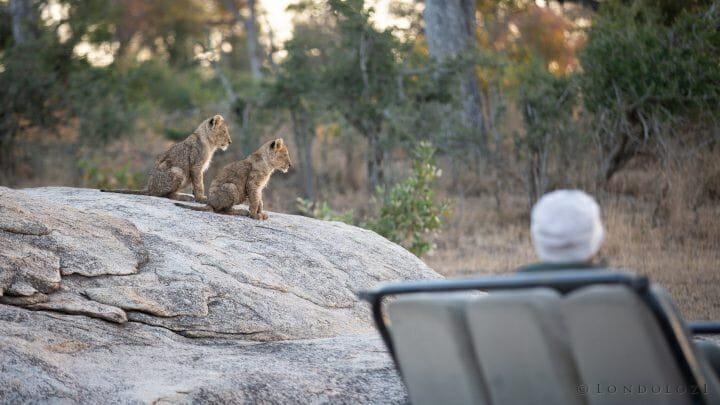 Tsalala Lion Cubs 2